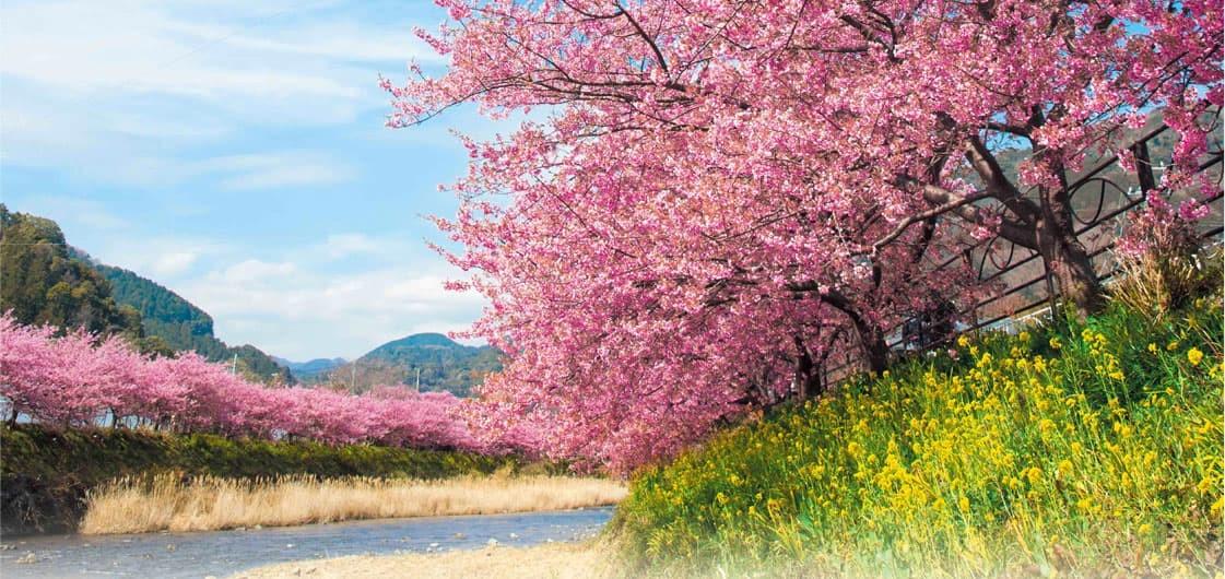 そろそろ桜の見ごろ、、、!!
